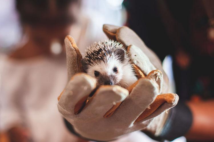 Cropped hands holding hedgehog