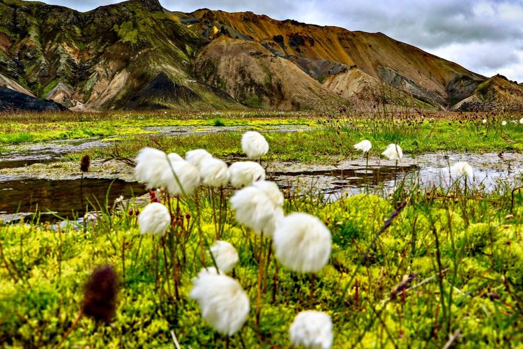 White flowers on field by lake against mountains