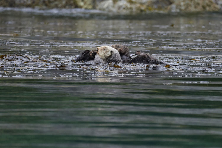 View of sea otters swimming in water
