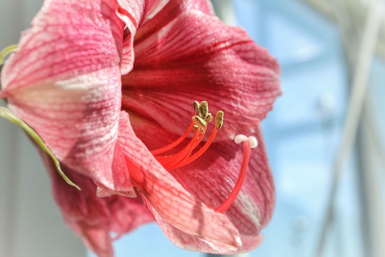 Beauty In Nature Close-up Day Day Lily Flower Flower Head Fragility Freshness Nature No People Outdoors Petal Pink Color Plant Water