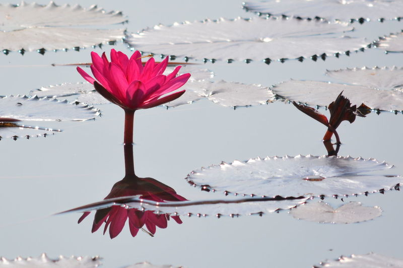 Pink water lily blooming in pond