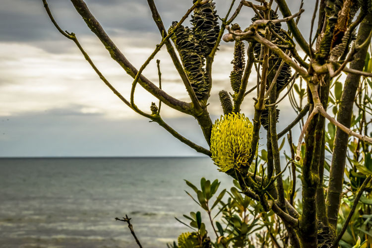 yellow wattle EyeEm Nature Lover Native Plants Beauty In Nature Close-up Cloud - Sky Coastal Feature Day Focus On Foreground Growth Horizon Horizon Over Water Nature No People Outdoors Plant Scenics - Nature Sea Sky Tranquil Scene Tranquility Tree Water Wattle Wattle Flower Wattle Tree