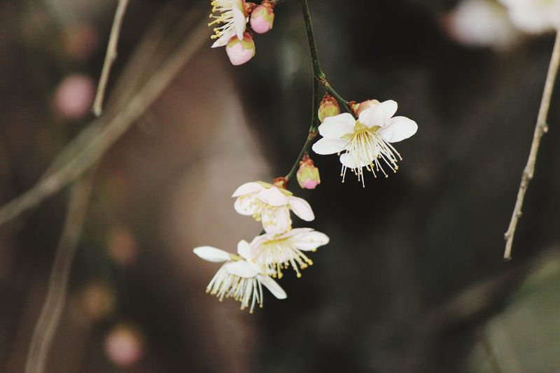Japanese Plum Blossom Ume Blossom EyeEm Selects Flower Flowering Plant Plant Freshness Beauty In Nature Fragility Flower Head Blossom Close-up Nature Pollen Branch