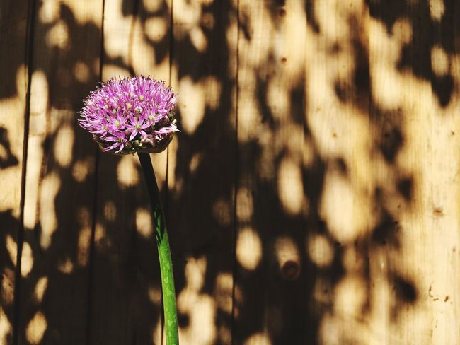 Allium Sun Garden Photography