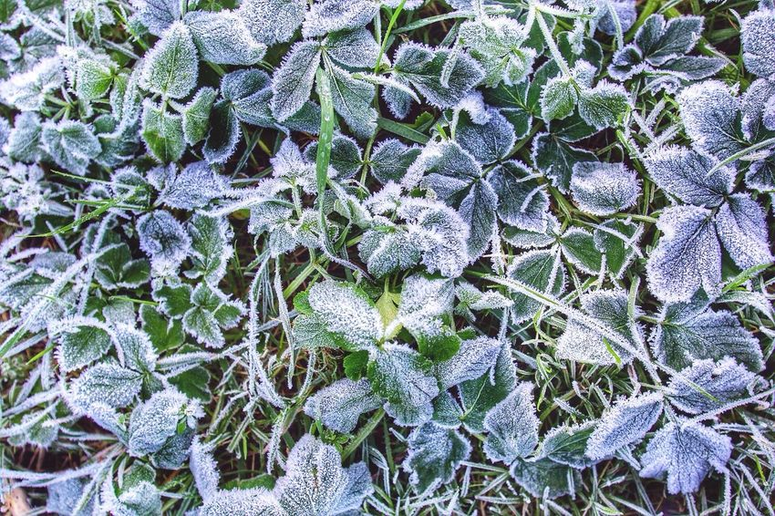 Beatiful Frosted Dark Green Leaves in the Morning in Cornwall Uk Uk How's The Weather Today? WeatherPro: Your Perfect Weather Shot Ice Winter Pattern Pieces Cold Days Weather Frost Frosty Frozen Frozen Nature Wintertime Mornings Backgrounds Cold Winter ❄⛄ Amazing Awesome Frozen Leaf Outdoors