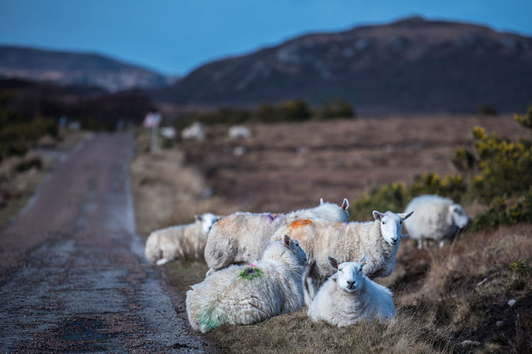 Animal Themes Day Focus On Foreground Landscape Livestock Mammal Mountain Nature No People Outdoors Scotland Sheep Sheep On The Street Sheeps Sheep🐑 Streetphotography