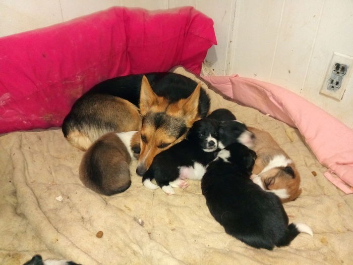 Borgis Puppies