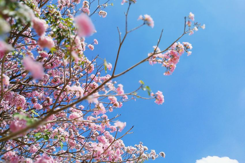Tree Branch Growth Low Angle View Nature Springtime Beauty In Nature Almond Tree Day Outdoors Sky No People Flowers Floral Botanical Garden ชมพูพันทิพย์ Blossom Botanical Gardens Flower Head Beauty In Nature Pink Color Tropical