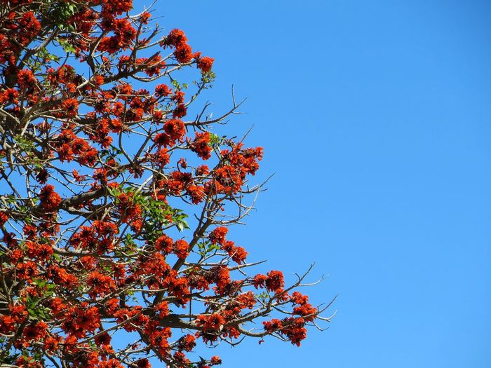 Beauty In Nature Blue Branch Clear Sky Close-up Day Flower Fragility Freshness Growth Low Angle View Nature No People Outdoors Red And Blue Sky Tree