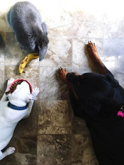 High Angle View Animal Themes Domestic Animals Pets Togetherness No People Mammal Dog Rabbit French Lop Rabbit Rottweiler Pitbull Puppy Three Animals The Week On EyeEm Pet Portraits