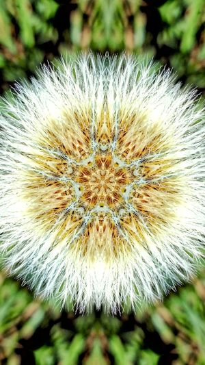 Flower Close-up Freshness Beauty In Nature Fragility Growth Flower Head Plant Dandylion Dandelion Wildflower Kolidescope Editing Kolidescope Snowflake Holiday Christmas Time Extreme Edit Shapes And Design Edits And Filters Art Creativity Star Star Shape Cross