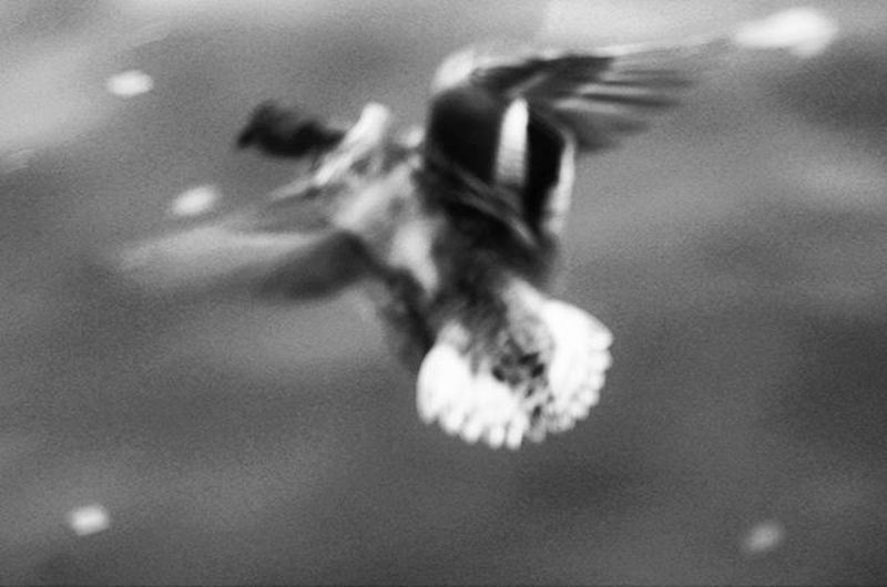 Movement Flyingbird Flyingaway Water Blurry Blurrypic Blurrymovement Blackandwhite Igersnantes Nantes Erdre
