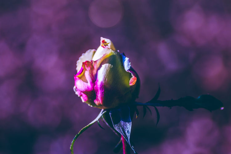 Exceptional Normalcy Drastic Edit Nature's Diversities Flowers,Plants & Garden Bud Fine Art Close-up Day Flower Flower Head Atmospheric Mood Fragility Freshness Growth Nature No People Outdoors EyeEm Nature Lover Exceptional Photographs Getting Inspired Bokeh Pink Color Plant Purple Abstract AI Now
