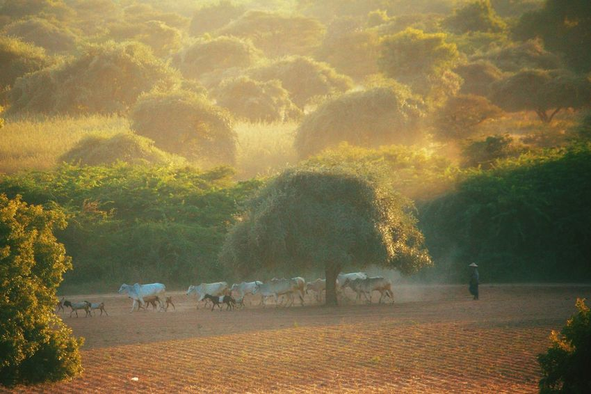 Myanmar Photography Myanmar Myanmar Culture Rural Scene Grass Day Domestic Animals Mammal Large Group Of Animals Animal Themes Tree Outdoors Nature Tradition Real People Bagan_the_ancient_city_of_burma Bagan, Myanmar Myanmarphotos Only Men Sunset Fog Landscape Travel Destinations Travel