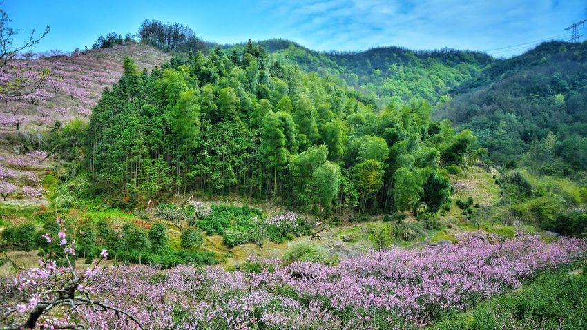 Peachtree Peachflower Pink Color Green 金华,CHINA
