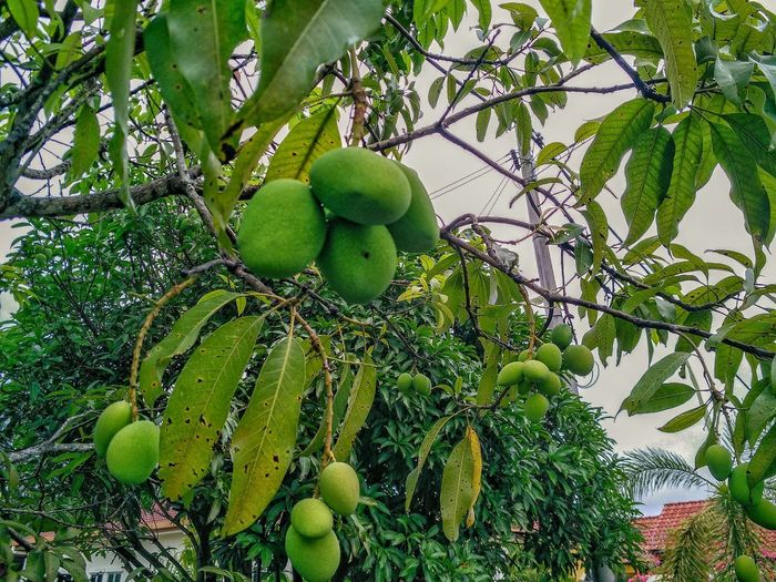 Mangifera Indicators (pelam telur) Tree Fruit Branch Unripe Close-up Green Color Food And Drink Sky Growing Fruit Tree