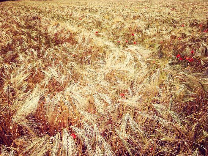 Full frame shot of crop in field