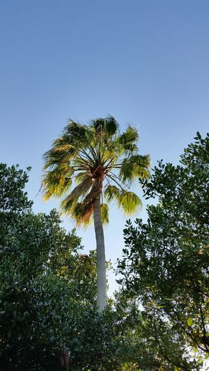Palm Tree Low Angle View Outdoors Scenics Nature Sky No People Tree Growth Beauty In Nature Day Florida Palm Trees Beauty In Nature Palm Tree Florida Nature Tranquility Blue Sky Clear Blue Sky Florida Sky