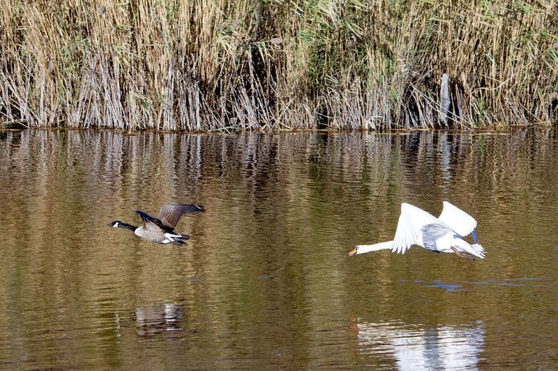 Swans Chase Geese Water Day Waterfront Lake Reflection Bird Animal Themes