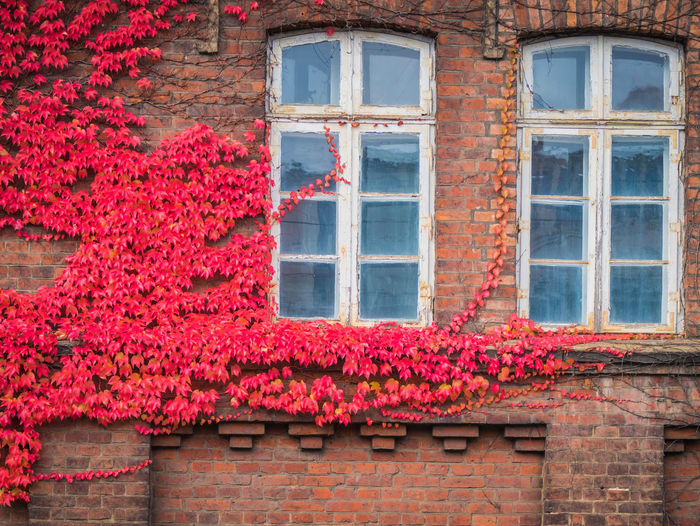 Red ivy on house with white window Window Architecture Building Exterior Built Structure Building Flower Plant Flowering Plant Day No People Red House Residential District Wall Ivy Wall - Building Feature Low Angle View Nature Brick Wall Outdoors Brick Change Window Frame Apartment