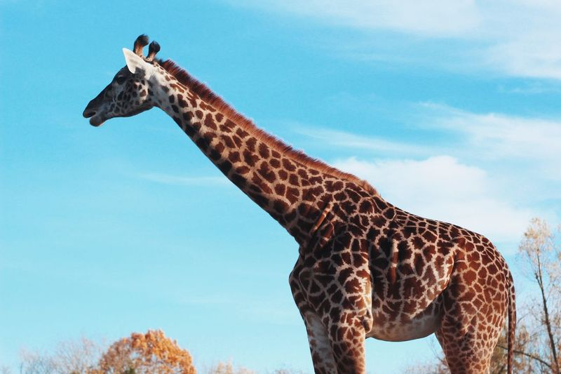 Toronto Zoo Zoo EyeEm Selects Giraffe Animals In The Wild Animal Wildlife One Animal Sky Cloud - Sky Outdoors Low Angle View Mammal Safari Animals Day Nature Tree Animal Themes No People Beauty In Nature