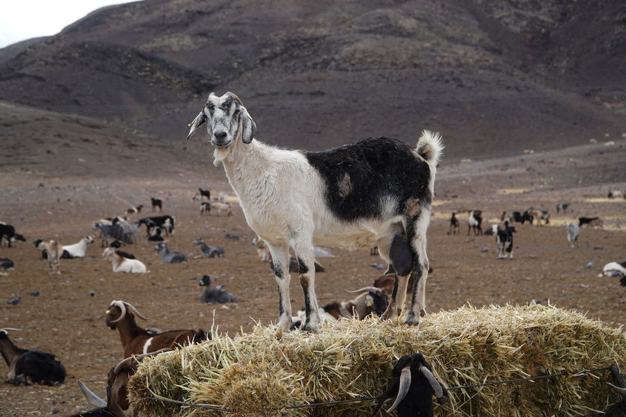 goat 2 Fuerteventura Goat Animal Themes Day Domestic Animals Grass Landscape Livestock Llama Mammal Mountain Nature No People Outdoors