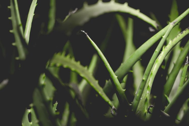 Close-up of aloe vera plants