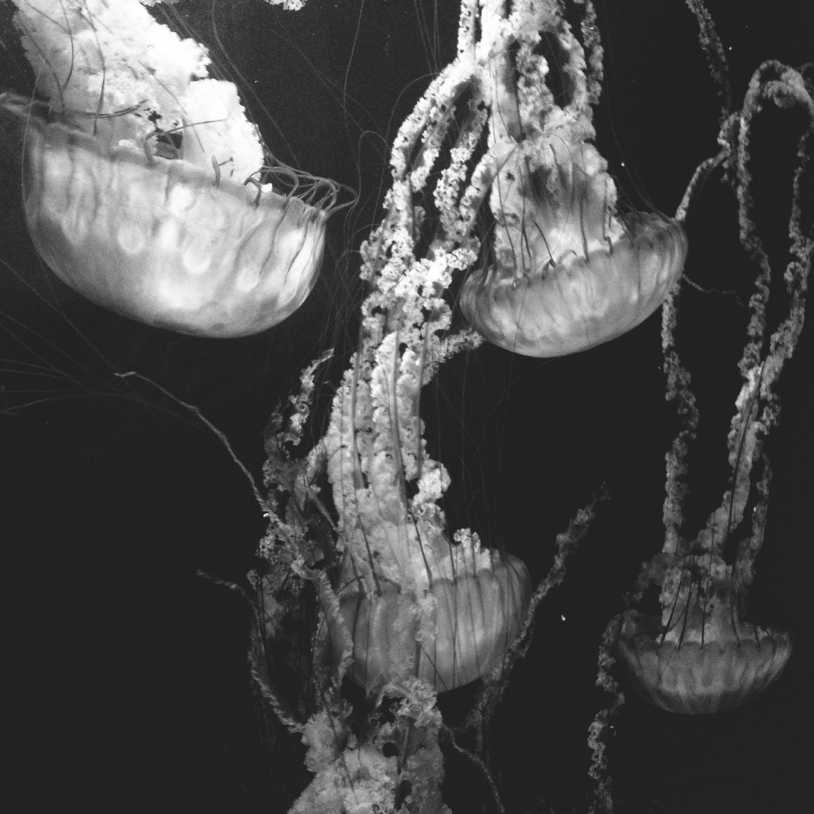 water, close-up, nature, animal themes, beauty in nature, wildlife, jellyfish, reflection, underwater, sea life, studio shot, no people, animals in the wild, black background, fragility, outdoors, plant, sea, growth, freshness
