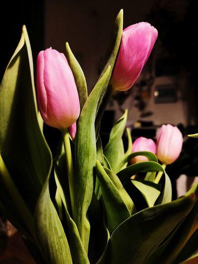 Flower Head Flower Pink Color Petal Springtime Close-up Plant Tulip Blossom