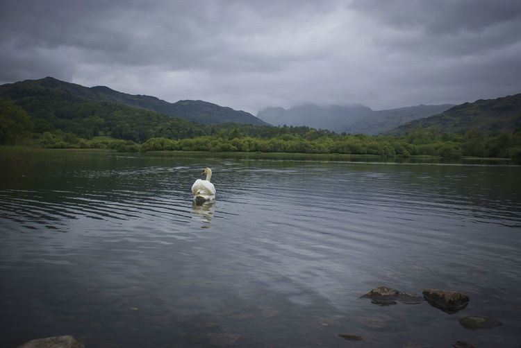 Beauty In Nature Cloudy Day Elterwater Lake Lake District Mountains Nature No People Outdoors Swan Tranquility