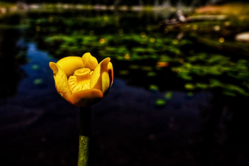 Contrasting Colors Contrast Full Frame Green Color Landscape_Collection Scenics Still Life Beauty Natrual Beauty  EyeEm Nature Lover EyeEm Best Shots Yellow Color Yellow Flower Yellow Flower Flowering Plant Growth Plant Vulnerability  Fragility Nature Beauty In Nature Close-up Water Focus On Foreground Flower Head Freshness Petal Inflorescence Floating On Water