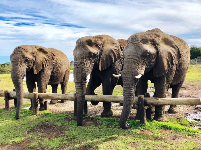 The elephants South Africa Africa Elephants Animal Themes Animal Group Of Animals Animals In The Wild Elephant Mammal Nature No People Beauty In Nature Outdoors Animal Wildlife My Best Photo