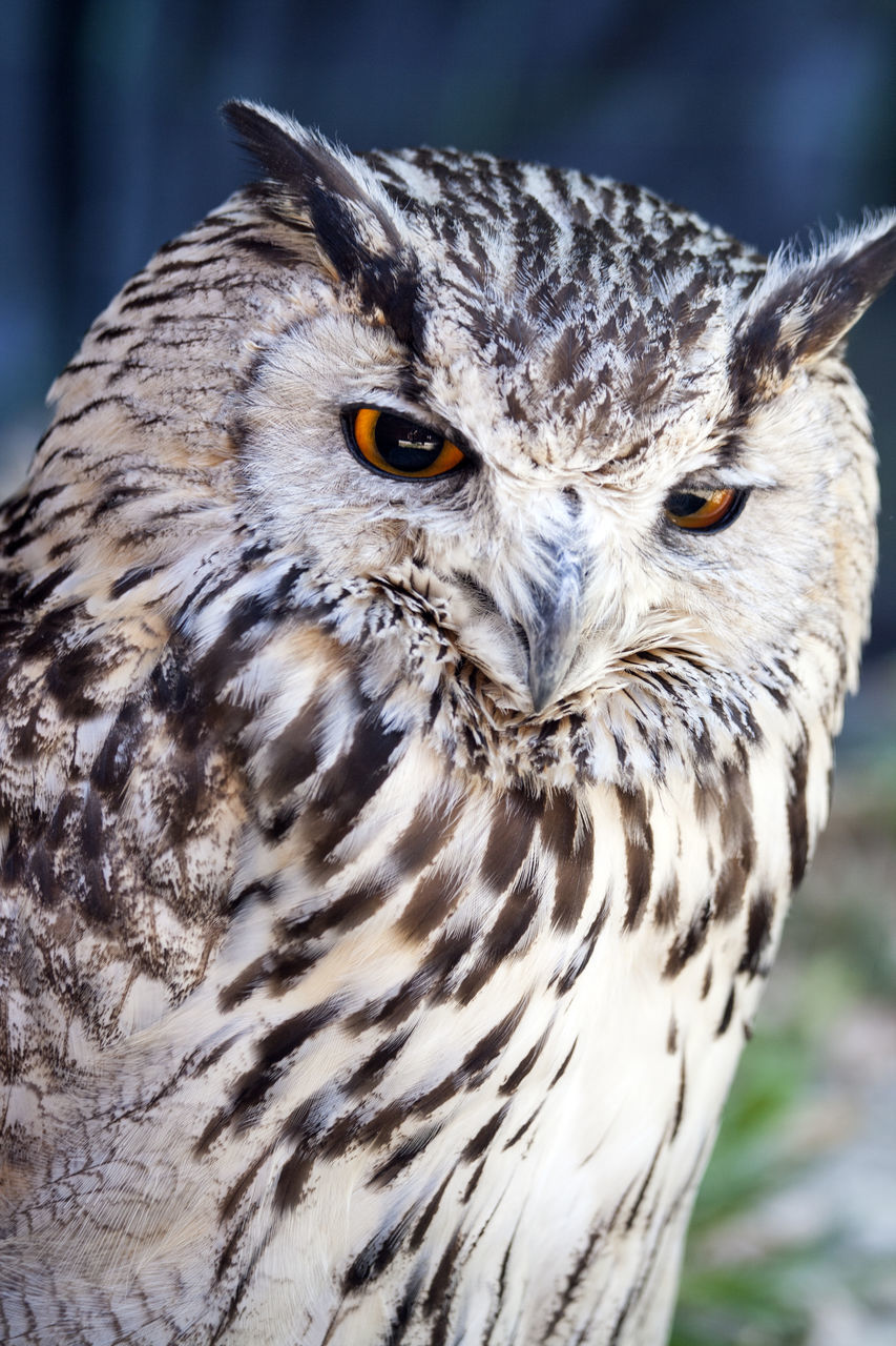 bird, animals in the wild, animal themes, animal wildlife, one animal, bird of prey, focus on foreground, close-up, looking at camera, portrait, beak, day, no people, outdoors, nature, owl