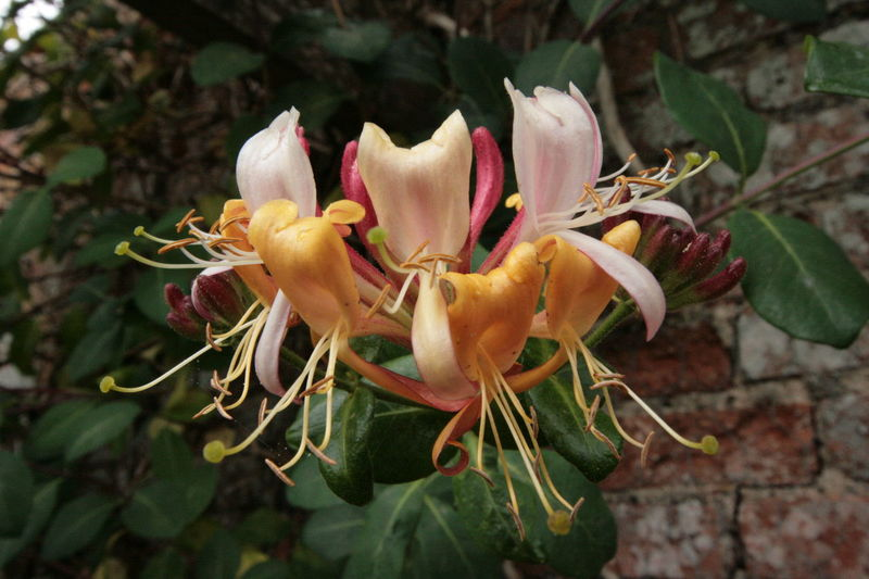 EyeEm Selects Lonicera Honeysuckle Coughton Court National Trust 🇬🇧 Beauty In Nature