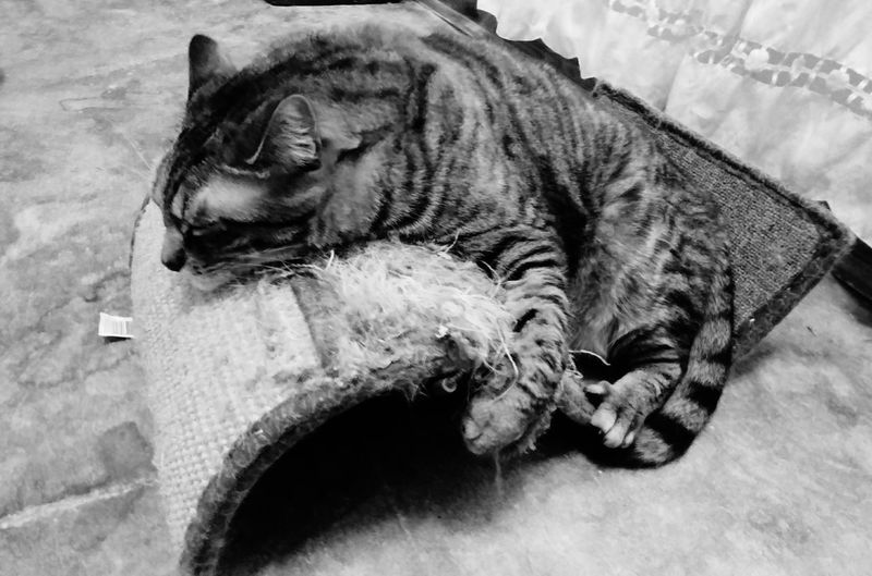 love my cat scratcher Cat Scratcher Sleeping Napping Cat Close-up Domestic Cat Cat Feline