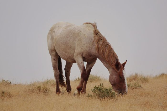 Wyoming wild horse Eating White Horse Wild Issues Wyoming Wyoming Landscape Wyoming Wildlife Animal Themes Animal Mammal Animal Wildlife One Animal Vertebrate Animals In The Wild Field Plant No People Grass Land Nature Day Standing Grazing Landscape