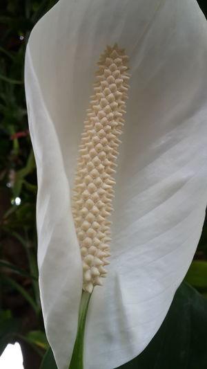 White anthurium Close-up Day Freshness No People White Anthurium