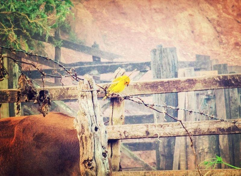 Bird Canary Nature Senhora Do Carmo