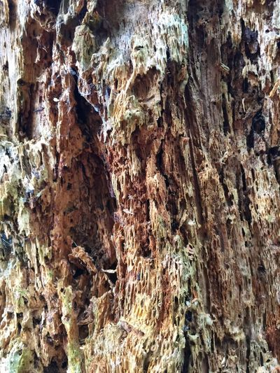 Decaying Pine Trunk Pattern Pieces Pines Rotting Wood Rotting Away IPS2016Texture