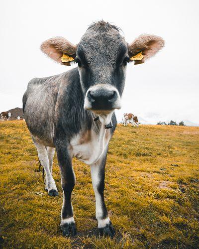 Moody Kronplatz Dolomites, Italy Italy EyeEm Selects Animal Mammal Animal Themes Domestic Animals Vertebrate Cattle Pets Land Cow Nature Landscape EyeEmNewHere
