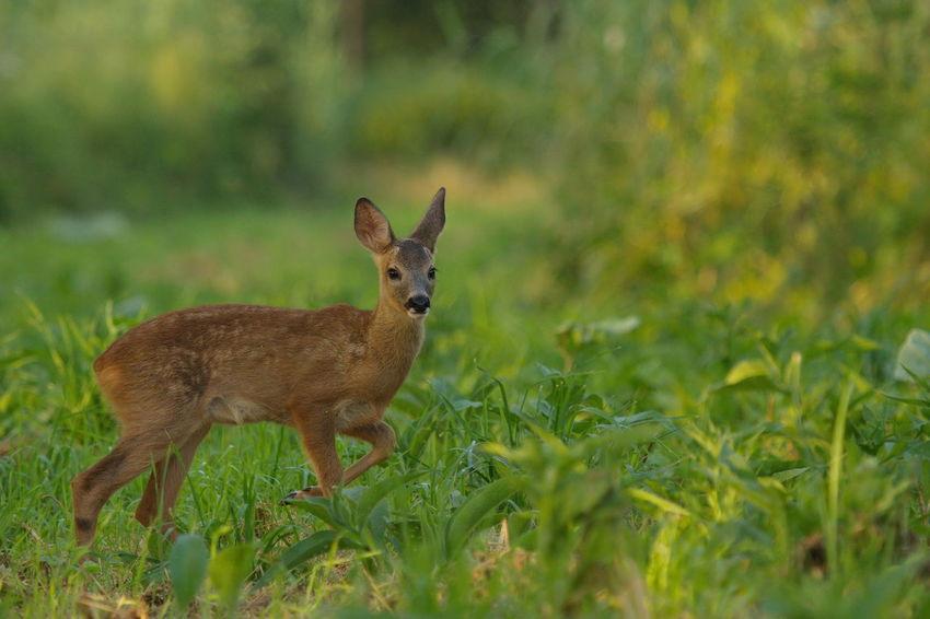 Animal Themes Beauty In Nature Biesbosch Field Grass Nature Ree Reekalf Roe Deer Roe Deer Cub Wildlife & Nature Wildlife Photography