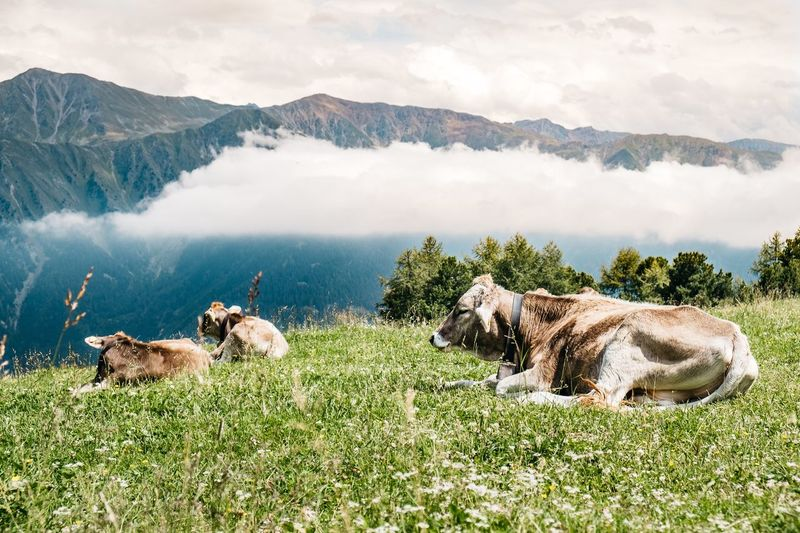 Cows on the alm