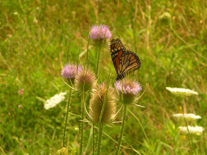 Monarch Butterfly on Purple Thistle Flower (at Friendship Park Lake in Smithfield, Ohio) Friendship Park Lake Patterns In Nature Smithfield Township Smithfield, OH Smithfield, OH 43948 Susan A. Case Sabir Unretouched Photography Animal Themes Beauty In Nature Butterfly - Insect Butterfly Collection Close-up Fragility Monarch Butterfly Monarch Butterfly On Flower Nature Walk No People Outdoors Purple Thistle Sunny Day Vulnerability