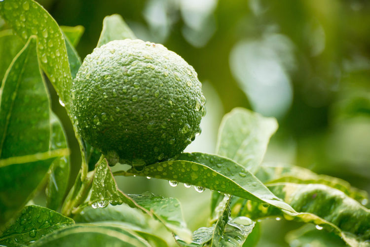 Close-up of wet lime growing on plant