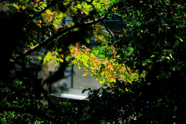 Tree Outdoors Leaf Nature Branch No People Day Beauty In Nature EyeEm Nature Lover Autumn Autumn Collection Background Sunlight And Shadow Shinning Bright Autumn Leaves Autumn Colours Multi Colored Green Color Autumn Is Coming Light And Shadow