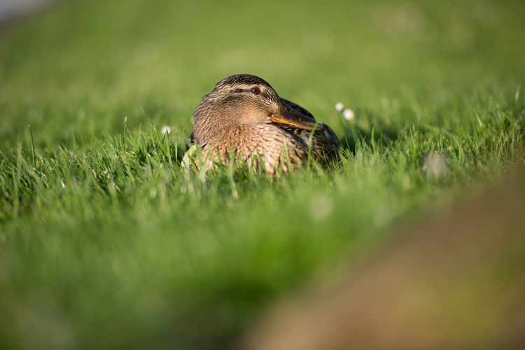 Mallard duck in the grass Beauty In Nature Close-up Day Feather  Field Focus On Foreground Grass Grassy Green Green Color Growth Landscape Nature No People Outdoors Plant Selective Focus Surface Level Tranquility
