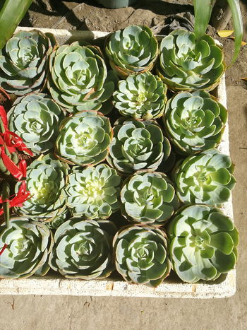 Succulents Large Group Of Objects Nature Potted Plant Cactus Succulent Plants Plants EyeEm Selects