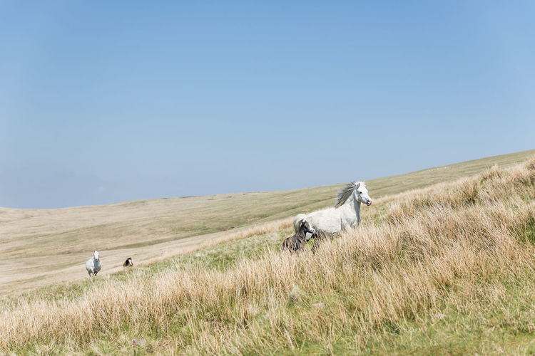 White and brown horses running in the wilderness of brecon beacons, wales, uk