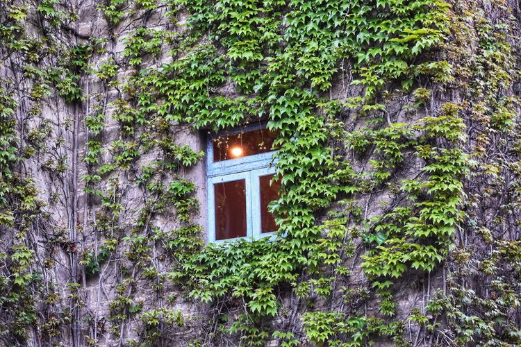 Ivy growing on tree by building