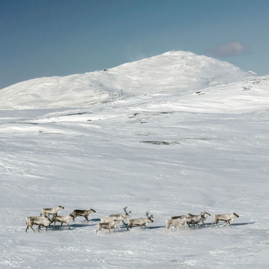 reindeer herd running through snow landscape with mountain backdrop EyeEm Selects EyeEm Premium Collection Color Horizontal Winter Reindeer Caribou Mountains And Valleys Carefree Freedom Snow Nature Reserve Animal Themes Landscape Animal Migration Herd Polar Climate Group Of Animals Wildebeest Colony Arctic